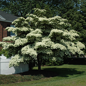Flowering Dogwood Photo